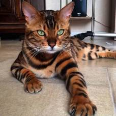 """Картина по номерам раскраска """"Тигровый кот"""""""